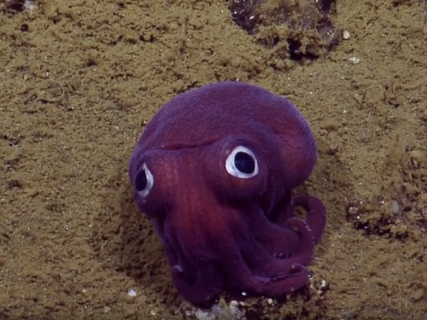 The stubby squid that caught the attention of the Nautilus team