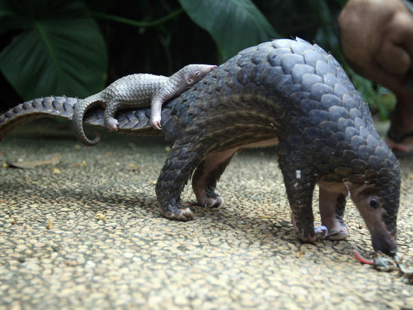 A pangolin carries its baby at a zoo in Bali, Indonesia. Delegates at a U.N. wildlife conference have voted to ban commercial trade in all eight species of pangolin.