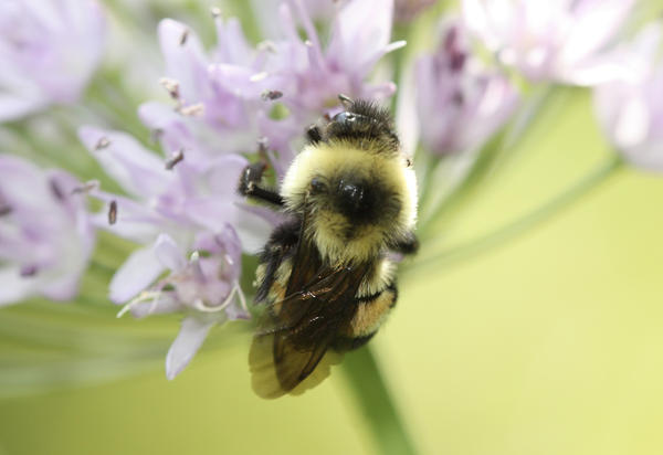 The U.S. has designated the rusty patched bumblebee an endangered species.