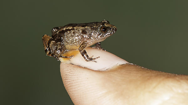 Vijayan's night frog (<em>Nyctibatrachus pulivijayani</em>), a 13.6 mm miniature-sized frog from the Agasthyamala hills in the Western Ghats in India, sits comfortably on a thumbnail. It is one of seven newly discovered frog species.