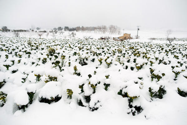 Snow covers a field of broccoli in Spain earlier this winter. The unexpected cold snap led to a vegetable shortage in the U.K. earlier this month.