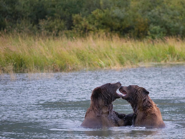 Brown bears play in a pond at the Alaska Wildlife Conservation Center in Portage Glacier, Alaska, in 2009.