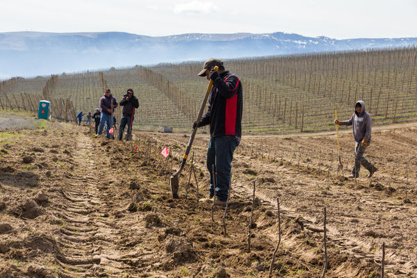 Workers and freshly planted Cosmic Crisp trees in an orchard owned by McDougall and Sons, near Wenatchee, Wash.