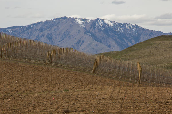 A modern orchard near Wenatchee, Wash. The trees in the foreground have just been planted. In the background, an orchard of young trees.