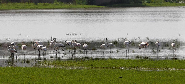 Pink Flamingos in Doñana National Park, a site famous for its biodiversity. Water shortages from over-farming and from climate change puts this natural habitat at risk.