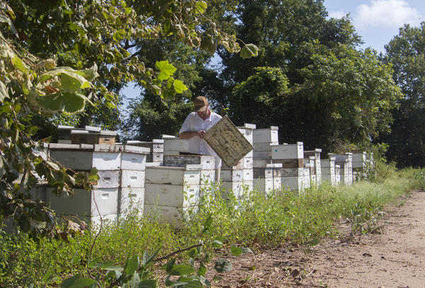 Richard Coy manages 13,000 honeybee hives in Arkansas, Missouri and Mississippi. In this location, his hives produced only half as much honey as usual. Vegetation nearby was heavily damaged by dicamba.