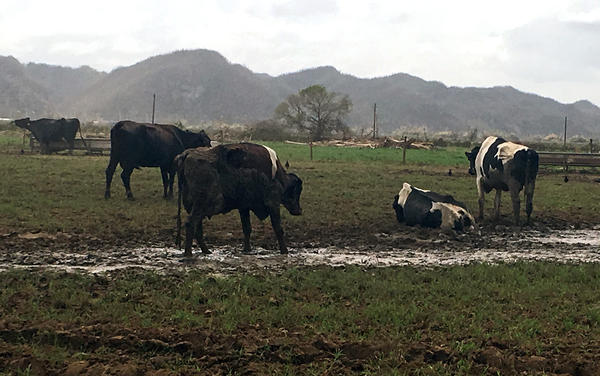 Dairy cows in a field in Manati, Puerto Rico. The farmer who owns them used to have 670 cows. He's found more than 70 cows dead, and had to bury them.
