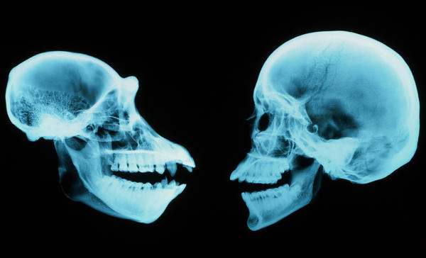 A chimpanzee skull, at left, and a human skull. Scientists are probing why our brains evolved so differently despite many similarities.