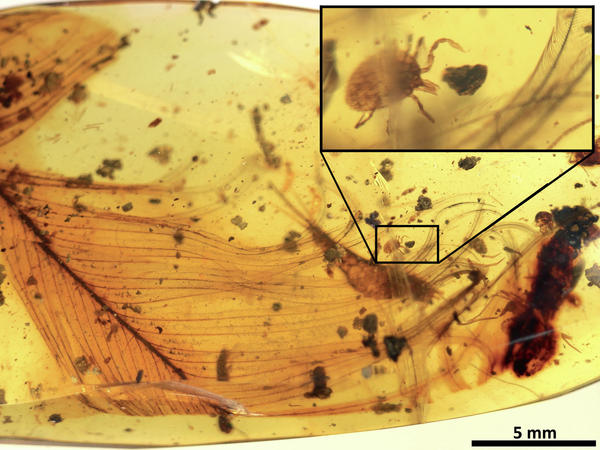 A tick grasping a dinosaur feather is preserved in 99 million-year-old amber from Myanmar.