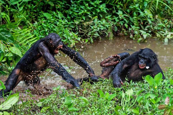 Two bonobos play fight at the Lola Ya Bonobo sanctuary in  Democratic Republic of Congo in 2012.