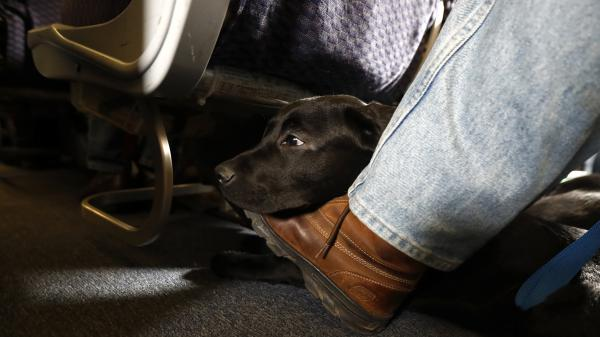 A service dog named Orlando rests on the foot of its trainer, John Reddan, while sitting inside a United Airlines plane at Newark Liberty International Airport during a training exercise last year. United Airlines wants to see more paperwork before passengers fly with an emotional support animal.