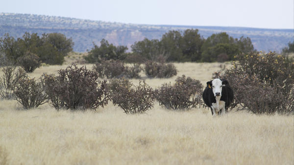 A cow grazes a stretch of open range north of Albuquerque, N.M.