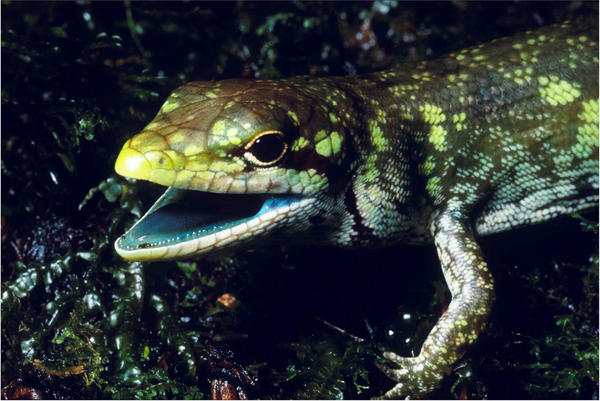 The prehensile tailed skink from the highlands of New Papua New Guinea has green blood due to high concentrations of the green bile pigment biliverdin. The green bile pigment in the blood overwhelms the intense crimson color of red blood cells resulting in a striking lime-green coloration of the muscles, bones, and mucosal tissues.