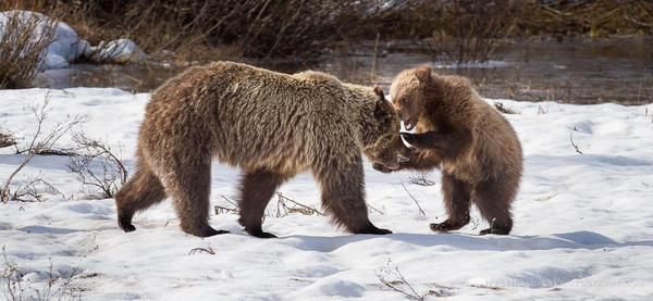 Grizzly Bear #610 and one of her three cubs play in the snow in Grand Teton National Park, Wyoming.
