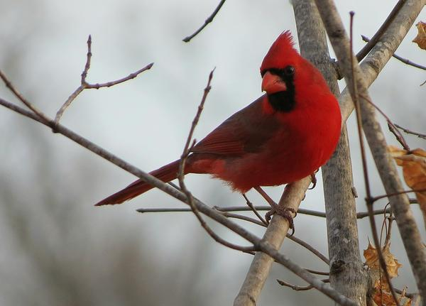 Northern cardinals were one of the birds tested for malaria-causing blood parasites.