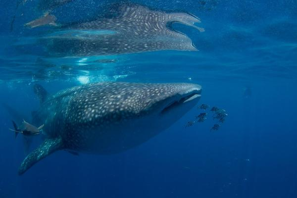 Scientists from Mote tagged two whale sharks after members of the public spotted the fish near the southwest coast.