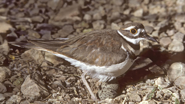 Killdeer with two eggs, photographed in Arizona under controlled conditions. A nest discovered by organizers of the RBC Bluesfest in Ottawa, Canada has prevented them from constructing its main stage.