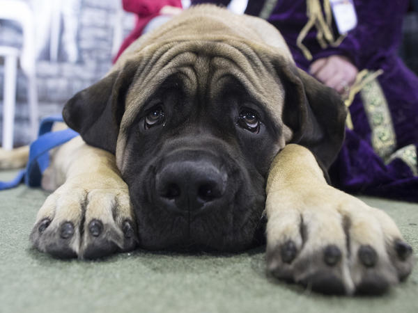 Dunkin, a mastiff, is among the breeds that won't be allowed to fly in the cargo section of United Airlines flights as of June 18. He's shown at the Westminster dog show in February.