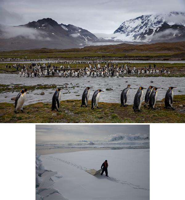 """Top: St. Andrews Bay on remote South Georgia island, en route to Antarctica from the Falkland Islands, is home to 250,000 pairs of king penguins, the island's largest colony. Below: A crew member of the National Geographic Explorer ship walks on """"fast ice,"""" or thick sea ice that's held fast to the shore at Wilhelmina Bay on the Antarctic Peninsula."""