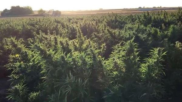 A field of hemp growing in Colorado