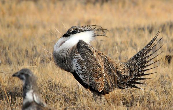 Greater sage-grouse on Seedskadee National Wildlife Refuge in Wyoming