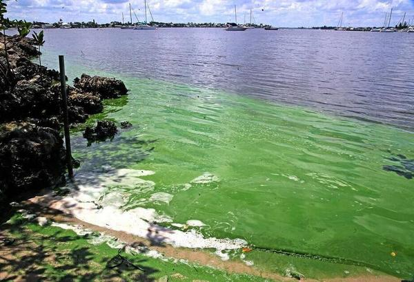 Gov. Rick Scott issued a state of emergency for seven counties around Lake Okeechobee, including Martin County where algae blooms can be found along the St. Lucie River including Shepard Park, shown here.