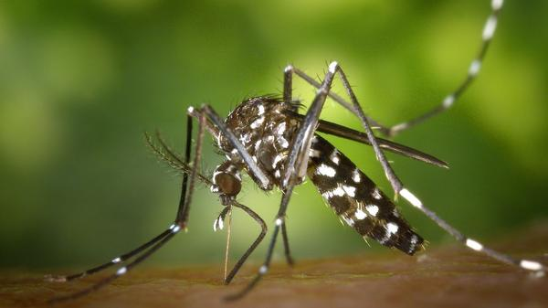 An Asian tiger mosquito is pictured.