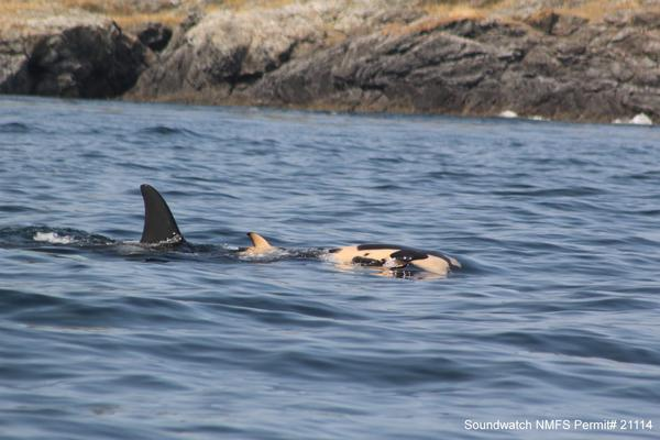 A female orca that appears to be grieving has been carrying her dead calf in the water, keeping it afloat since the baby died a week ago. (Taylor Shedd/Soundwatch, taken under NMFS MMPA permit #21114)