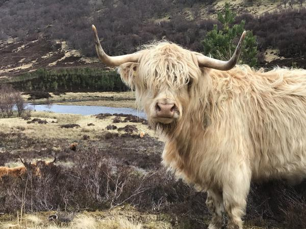 A small herd of Highland cattle roams the reserve.