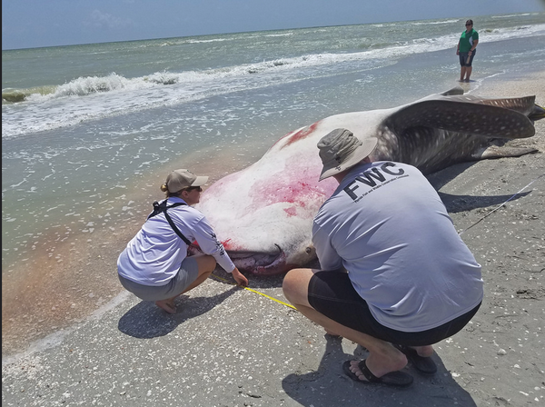 From last month. Whale shark necropsy performed on Sanibel Island by FWC's Dr Gregg Poulakis and NOAA's Dr Jose Castro along with additional FWC staff. The whale shark was as immature/maturing male, just shy of 26 feet in total length.