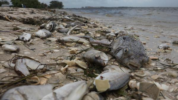 Hundreds of fish killed by red tide are washed ashore in Sanibel, Fla., this month. The current red tide has stayed along Florida's southwest coast for around 10 months, killing massive amounts of fish as well as sea turtles, manatees and a whale shark swimming in the area.