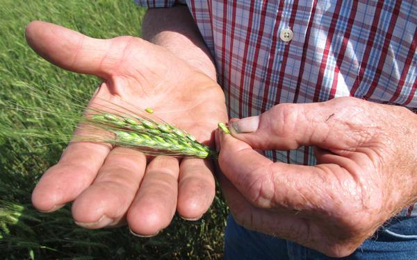 Nebraska wheat farmer Larry Florh inspects an unripened head of wheat.