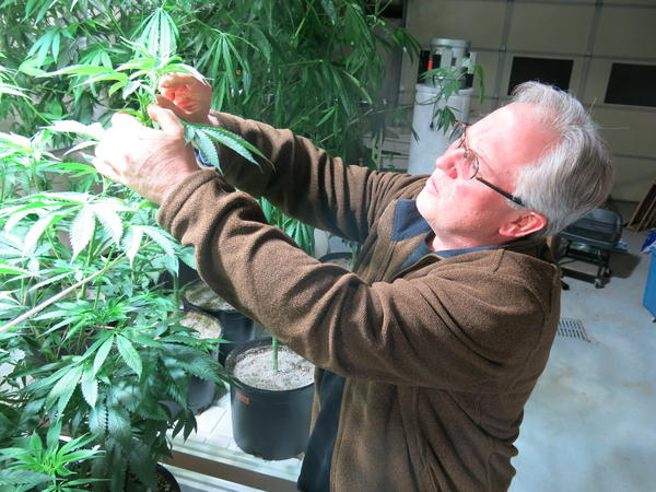 Ben Holmes examines the leaves on his hemp plants. He says the plants get to be 20 feet tall.
