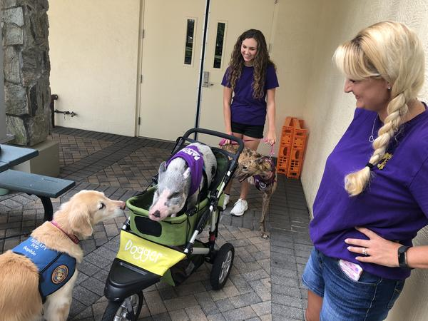 Therapy dog Sophie greets therapy pig Patches outside the Parkland rec center before a Therapy Dog Thursday event. Patches' owner, Tiffany Aaron (far right), looks on. Her daughter, Emily Aaron, 15, is in the background with her therapy dog, Lulu.