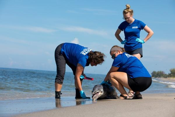 Gretchen Lovewell of Mote Marine Laboratory, left, is leading the investigation into an unusually high number of dolphin deaths in the Gulf of Mexico. Researchers are trying to figure out if red tide is the cause.