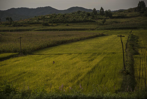 A North Korean farmer stands in the middle of a rice field in a rural area north of the capital city Pyongyang.