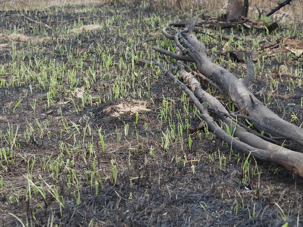 Grass grows back after a wildfire in Utah.