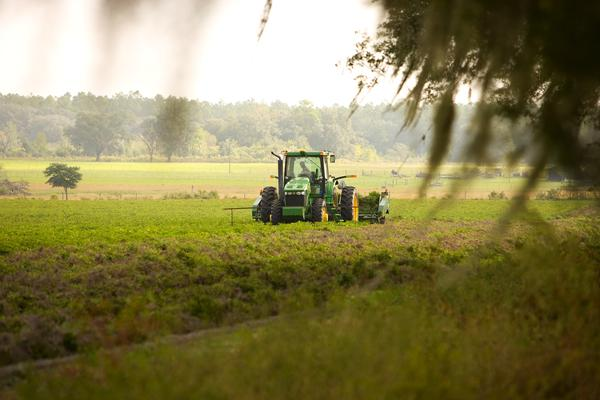 A Florida farmer cuts the crop and turns it over to dry as he makes his way across the field.