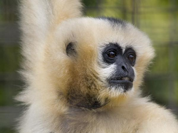 Staff at the National Zoo are mourning the loss of Muneca, a 51-year-old white-cheeked gibbon who was euthanized on Friday.