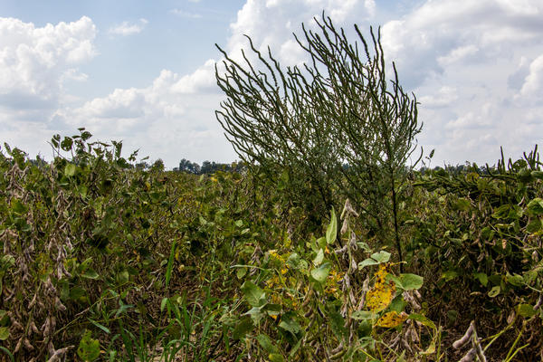 A farmer's nightmare weed, glyphosate-resistant Palmer amaranth, or pigweed, sprouts in a soybean field in Arkansas. Its evolution has farmers looking for new weedkilling strategies.