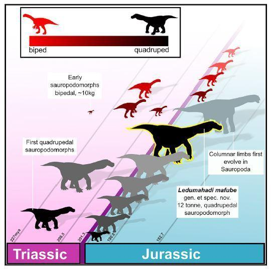 This graphical abstract shows how four-legged postures with flexed limbs potentially evolved several times in this group of related dinosaurs.