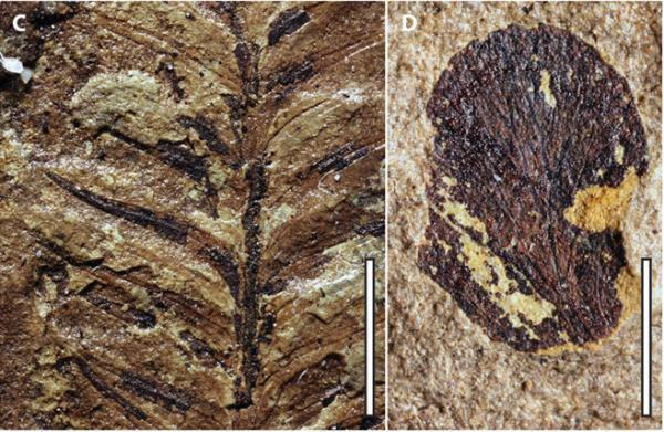 Paleontologists found these plant compression fossils in the Ferron Sandstone formation in Central Utah.