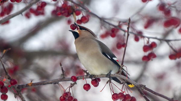 A waxwing eats a berry on an arrowwood tree. Cedar and other waxwings are known to gorge on fermented berries and other fruits, leading them to appear drunk.