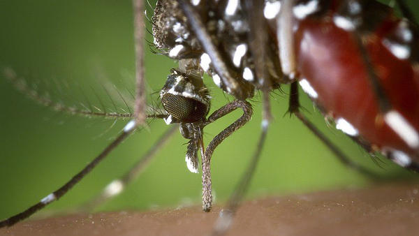 Aedes albopictus mosquito, found to be a vector of West Nile Virus, feeding on human blood.