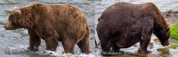 Bear 747 at the end of June and at the end of August.