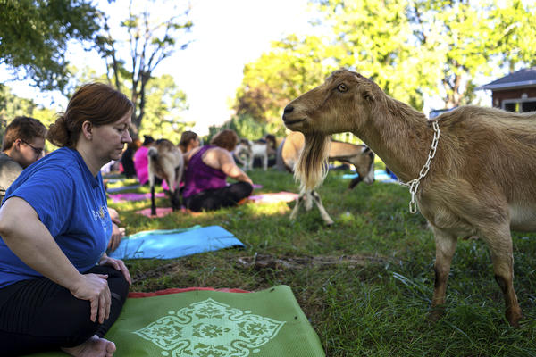 Shirley, an 80-pound Alpine milking goat, inspects a yoga student at Green Finned Hippy Farm.