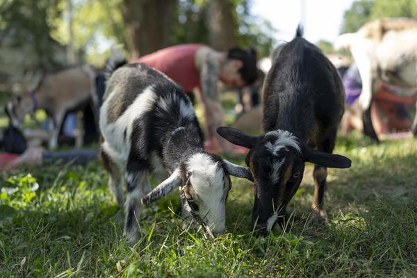 The goats are generally more interested in grazing than yoga.