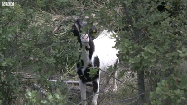"Screenshot from BBC's ""Fighting fire with goats"""