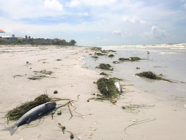 Fish washed up on Indian Rocks Beach Thursday morning due to red tide.