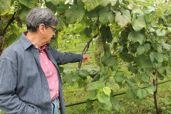 Happy Valley Vineyard and Winery Owner Barbara Christ points out grapes that could be affected by the spotted lanternfly.